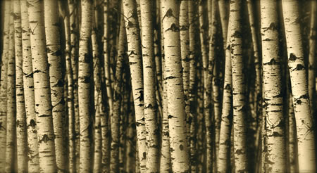 THE SCENT OF BIRCH TAR