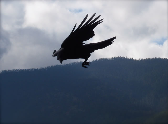 Ravening | A love of the family of Crows